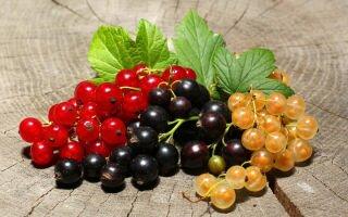 Удобрение смородины: сроки, методы и варианты