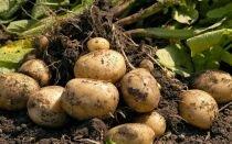 Удобрение картофеля для получения богатого урожая
