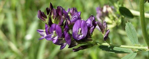 Люцерна как сидерат: особенности выращивания и использования для огородных культур