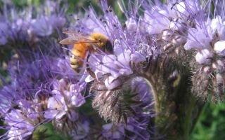 Фацелия как сидерат: от посева до сбора семян