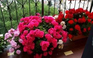 Эффективная подкормка герани для пышного цветения