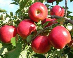 Удобрение яблони: когда и какие подкормки вносить