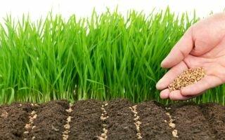 Овес как сидерат: выращивание и использование для огородных культур