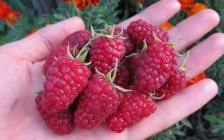 Удобрение малины: когда и чем подкормить кустарники
